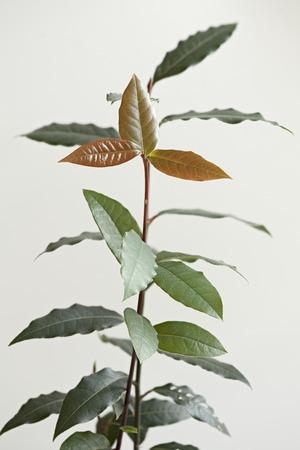 Laurel tree seedling Used as seasoning in cooking white background macro shot