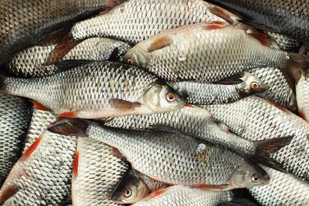 rutilus: Fresh roach full basket successful fishing background Stock Photo