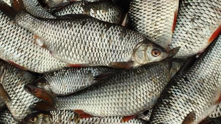rutilus: Live fish successful fishing full basket overhead view