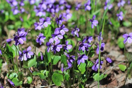 violets spring primrose in forest