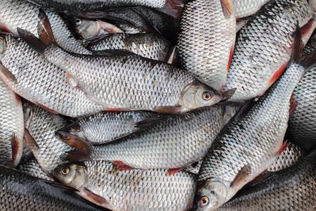 rutilus: Live Fresh roach successful fishing  Stock Photo