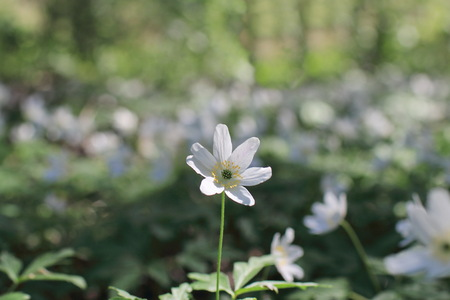 Forest strewn is strewn with pure white flowers wood anemone stock forest strewn is strewn with pure white flowers wood anemone macro shot stock photo 79460733 mightylinksfo