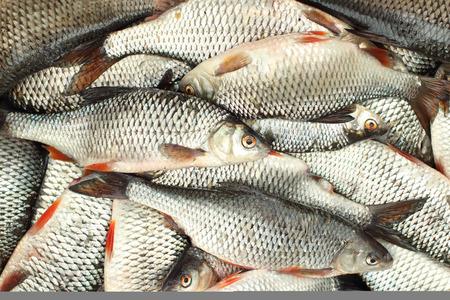 Succesvolle visvangst roach achtergrond Stockfoto