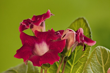 Red gloxinia flowers  on the green background