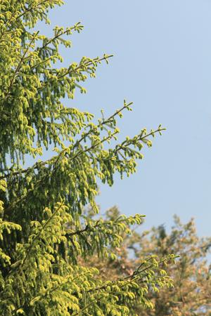 Junge Sprösslinge des Tannenbaums, der im Frühjahr Holz wächst