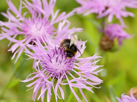 Shaggy bumblebee on cornflower flower drinks nectar Stockfoto - 128825808