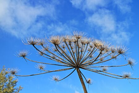 dry inflorescences of hogweed in the form of umbrellas against the blue sky