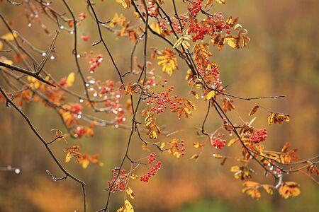raindrops on red rowan berries, autumn rainy weather 写真素材