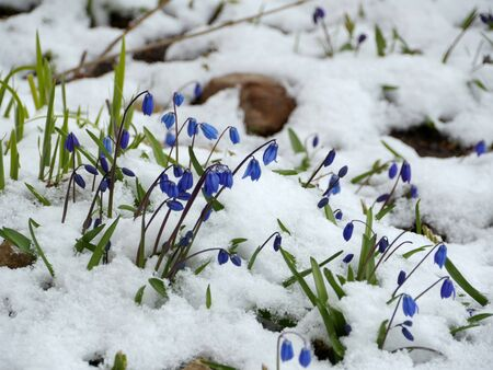 Scilla blue flowers under the snow in spring, close-up