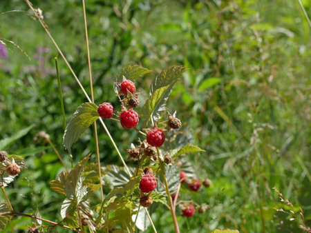 Ripe forest raspberries are hanging on a branch close to