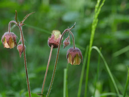 flowers Geum Rivale on a long stem close-up, herbal plant Banque d'images