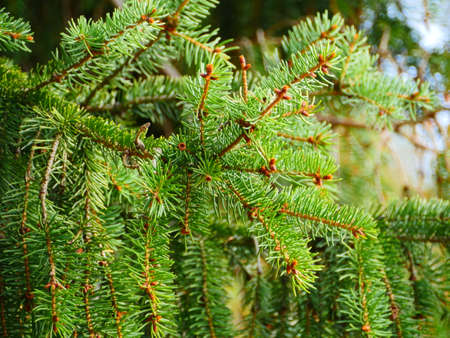 spruce branch with green coniferous needles swinging close-up
