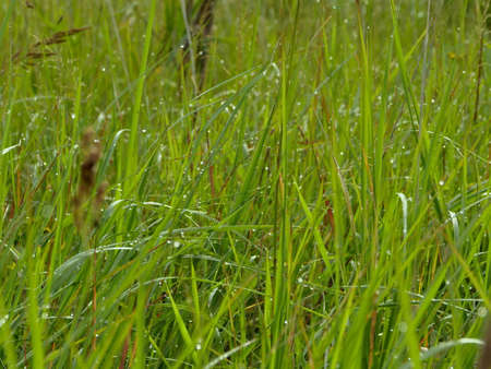 grass with drops of morning dew, green abstract background