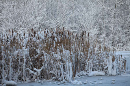 snowy lake reeds in the snow winter landscape