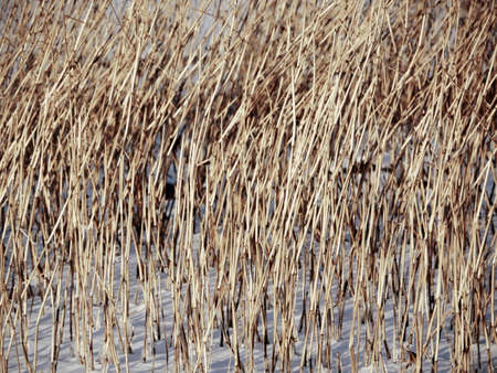 yellow dry reed in white snow, winter  abstract background
