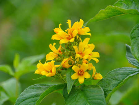 yellow flowers hypericum in nature close-up, herbal plant Standard-Bild