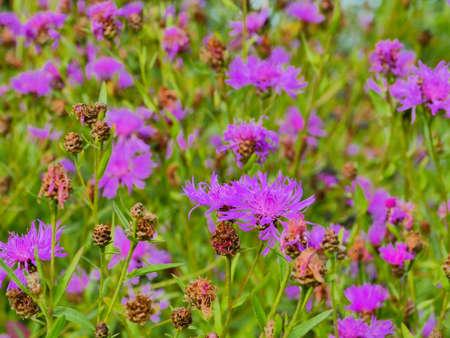 bright blooming wildflower cornflowers green meadow Standard-Bild
