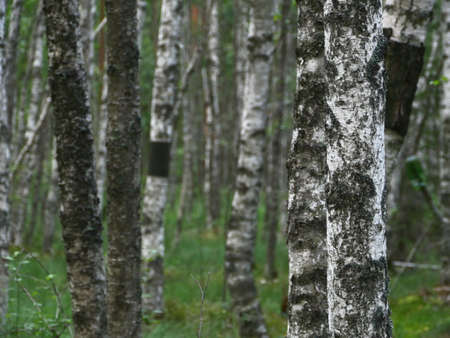 thin trunks of birch in a wet forest