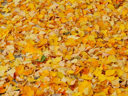 yellow leaves falling, autumn leaf fall, carpet of yellow leaves Standard-Bild