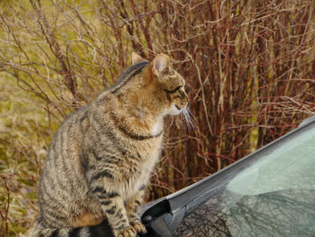 tabby cat sits on the hood of the car and looks around close-up, autumn