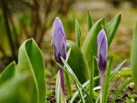 Crocus purple spring flowers primroses close-up