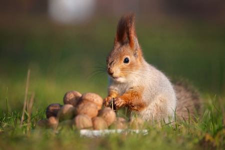 The squirrel stands on the ground in front of a pile of nuts. Stock Photo
