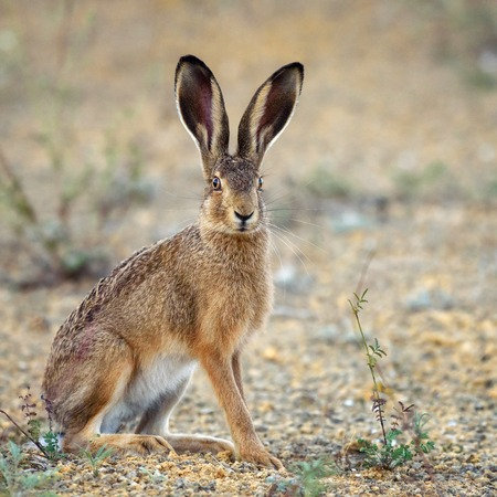 European hare stands on the ground and looking at the camera (Lepus europaeus). Imagens