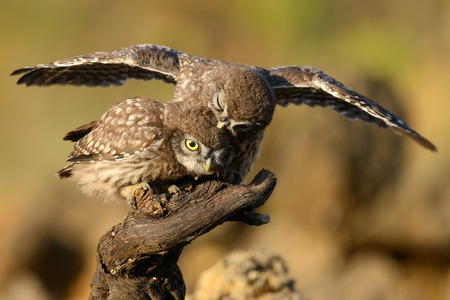 A young little owl sitting on a stick with spread wings and bites the head of the second little owl. Stock Photo