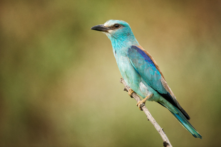 European roller sitting on a branch on a beautiful background.