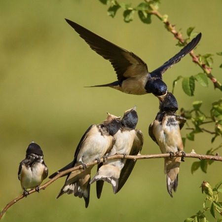 The barn swallow feeds one of its four nestling in flight. Archivio Fotografico