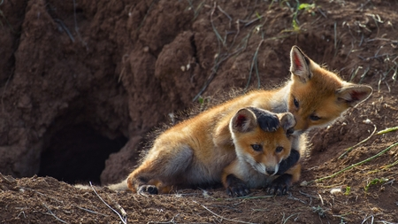 Two young Fox playing near his hole.