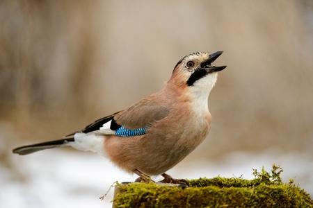 Eurasian jay on the winter bird feeder with seeds in beak.