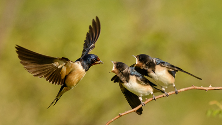 The barn swallow feeds one of its four nestling in flight. Banque d'images