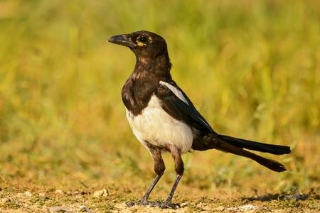 Portrait of a magpie (pica pica).