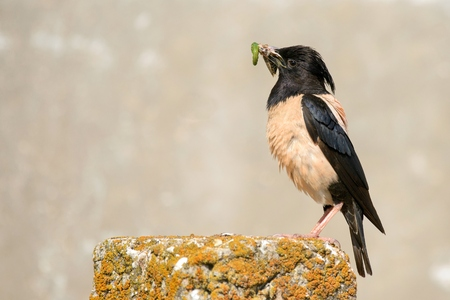 Rosy Starling with prey on a beautiful background. Stock Photo