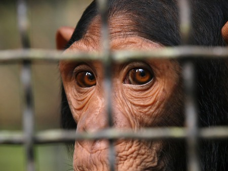 Human eye ape trapped in a cage.