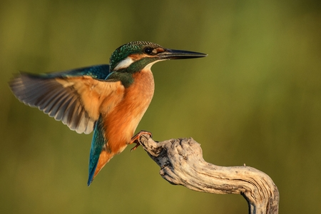 Kingfisher sits on a stick with wings spread. Foto de archivo