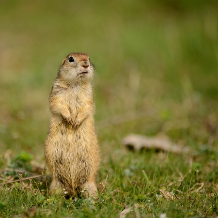 Ground squirrel (Spermophilus pygmaeus)standing in the grass. Stock Photo