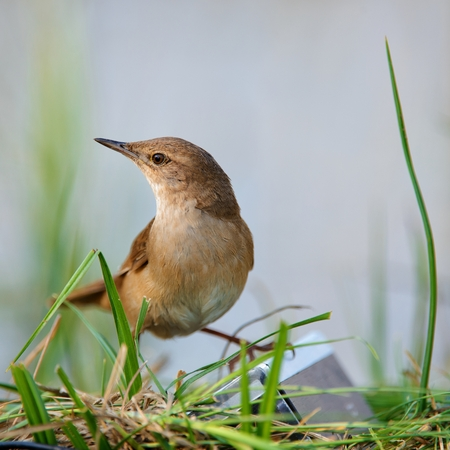 Savis Warbler (Locustella luscinioides). songbirds Stock Photo