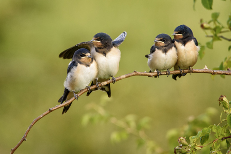 Four nestling barn swallows waiting for their parents sitting on a branch on a beautiful green background. Stock Photo