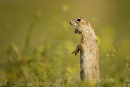 Ground squirrel standing waist-deep in the grass on a beautiful background and shouts.