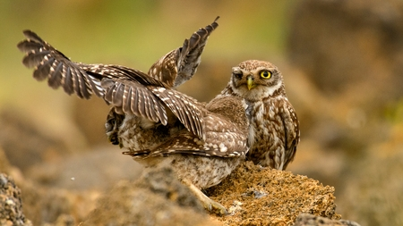 little owl looking at the camera.