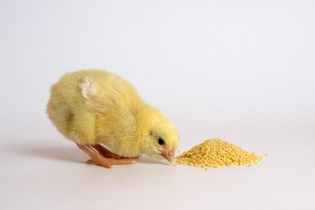 Little chicken isolated on white.