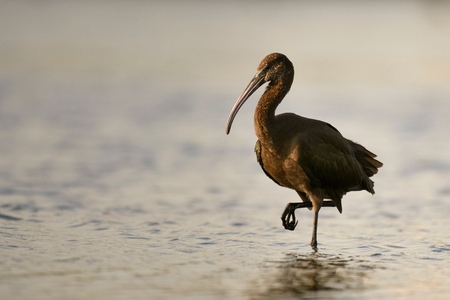glossy ibis (plegadis falcinellus) in water background.