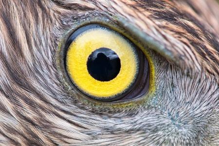 eagle eye close-up, eye of the Goshawk Stock Photo