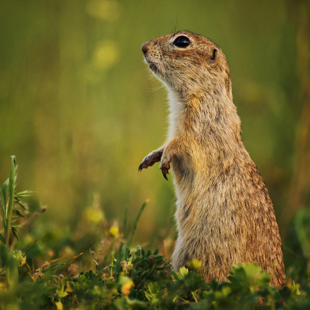 Ground squirrel standing in the grass. Close Up
