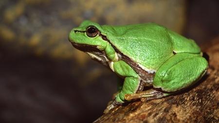 European green tree frog (Hyla arborea formerly Rana arborea).