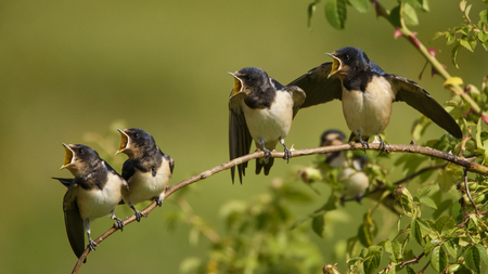Four nestling barn swallows waiting for their parents sitting on a branch on a beautiful green background