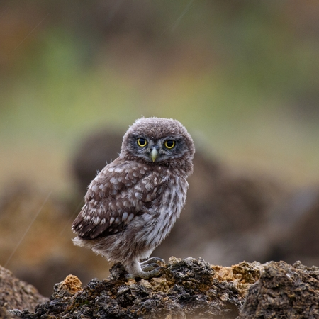 A young little owl sitting on a rock and looking at camera on a beautiful background.