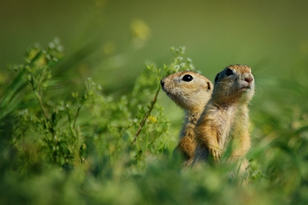 Two ground squirrel standing waist-deep in the grass on a beautiful background.